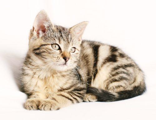 Kitten Care Guide Week by Week