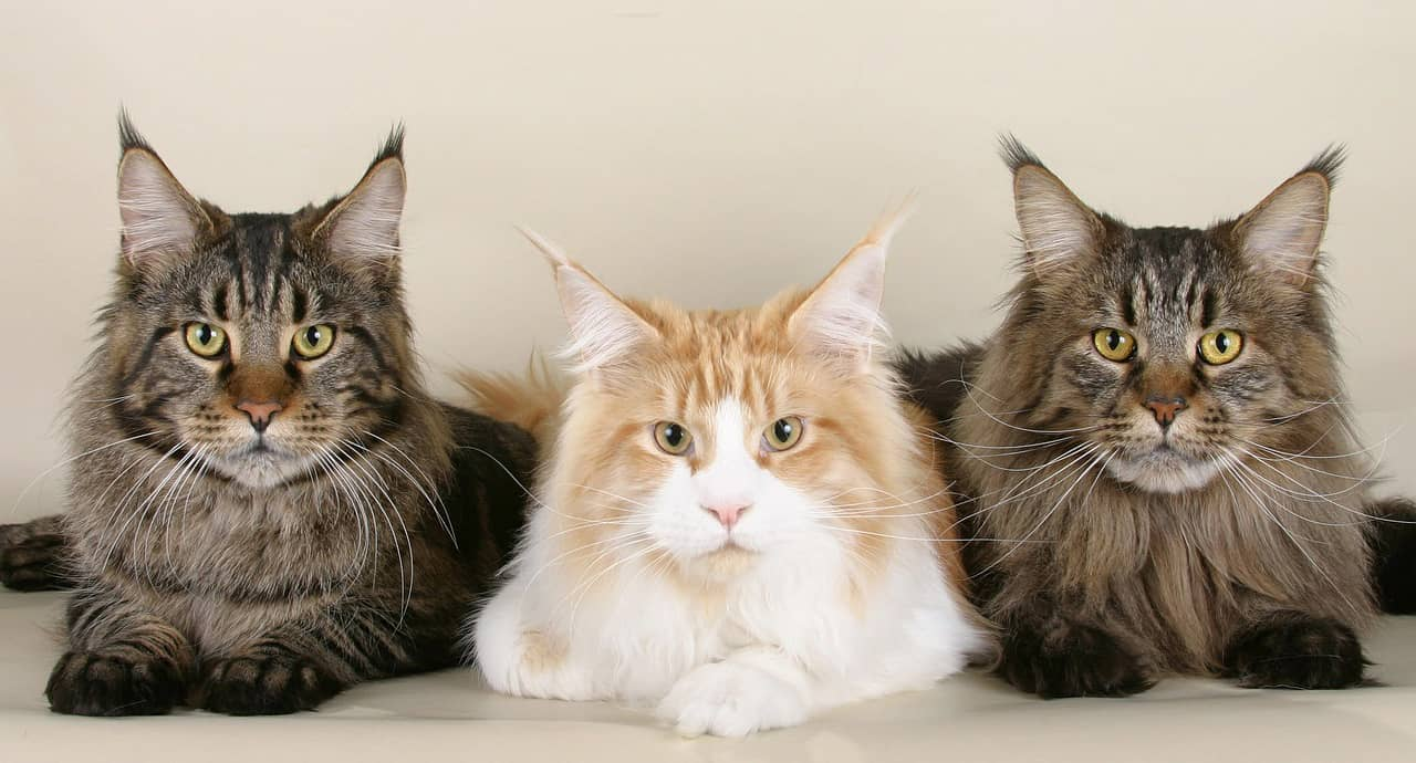 Cat Trees for Maine Coons – Our Top 10
