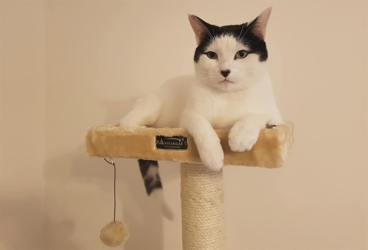 Cat on Armakat Cat Tree