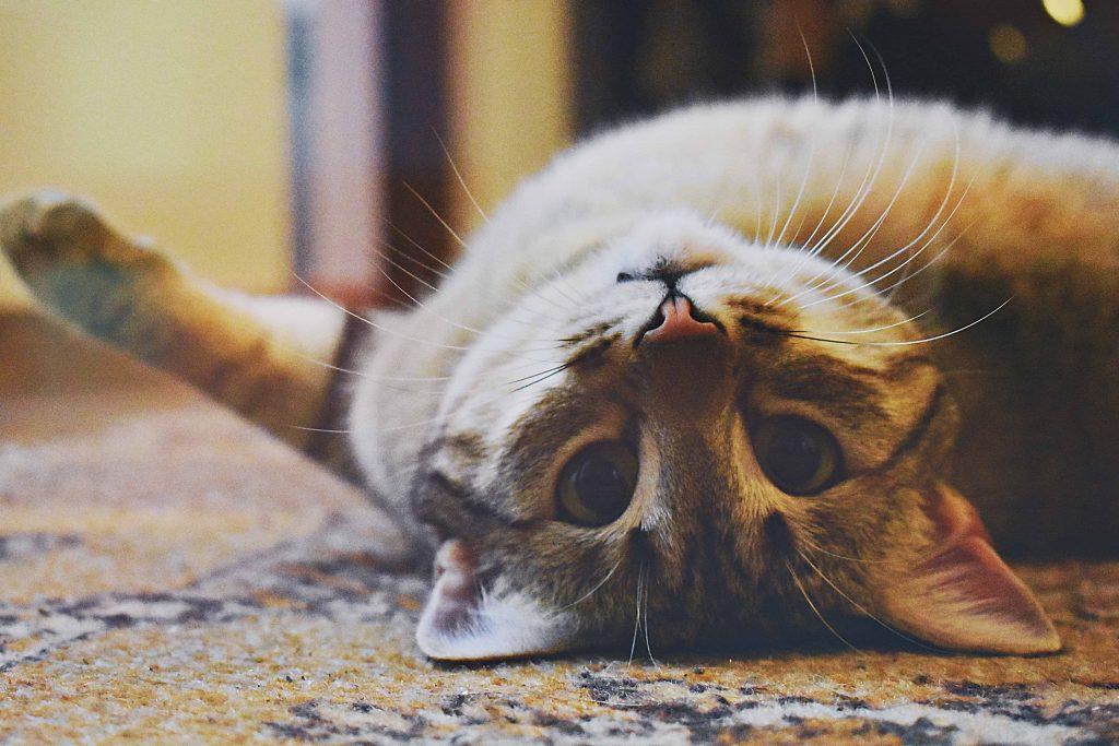 Cat Losing Balance Back Legs - Image